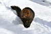 fisher in the snow ................Prints or digital files can be purchased by e mailing DFriend150@gmail.com