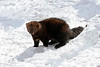 fisher in the snow snow ................Prints or digital files can be purchased by e mailing DFriend150@gmail.com