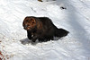 fisher running in snow ................Prints or digital files can be purchased by e mailing DFriend150@gmail.com