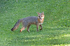 Grey fox with paw up