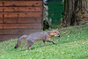 Grey fox running up yard looking for food