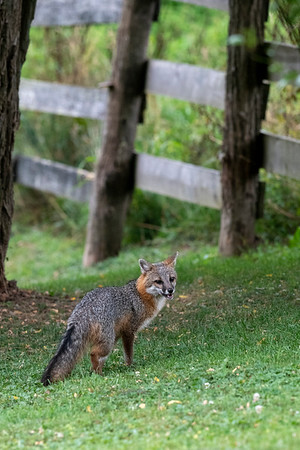 Grey fox by fence mouth open looking in field