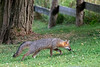 Grey fox sniffing as going up yard looking for food