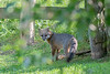 Grey fox looking back