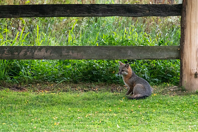Grey fox sitting by fence near farm