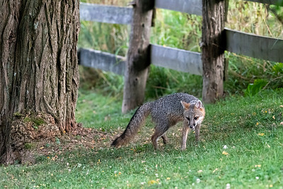 Grey fox seriously looking for food