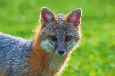 Close up grey fox looking intent at camera paintography 1
