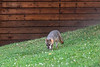 Grey fox with wihte mouse