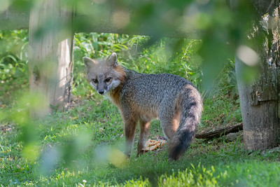 Grey fox near a fence looking back