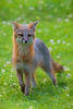Grey fox staring straight ahead paintography