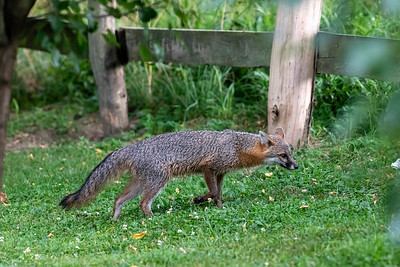 Grey fox looking through fence