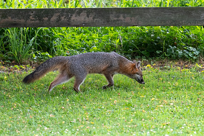 Grey fox sniffing the ground