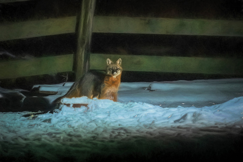 Grey fox in night  - snow on nose  Paintography
