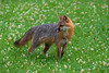 Grey fox in field of clover  paintography