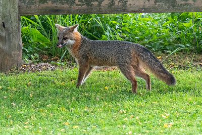 Grey fox with tongue out by fence
