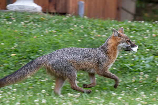 Grey fox running with his marshmallows