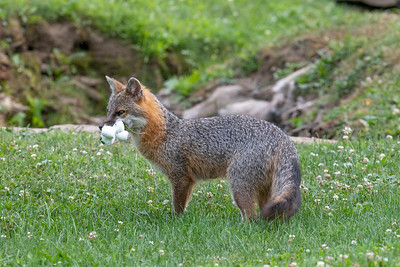 Grey fox with mouthful of marshmallows