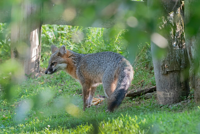 Grey fox  near a fence