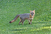 Grey fox looking pretty cool in a yard