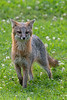 Grey fox staring straight ahead