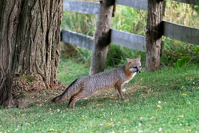 Grey fox stretching by tree