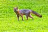 Grey fox in a lawn paintograqphy