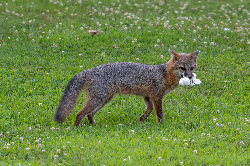 Grey fox proud his marshmallow catch