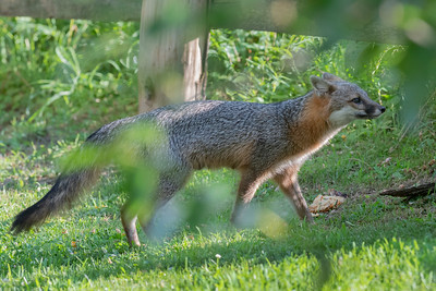 Grey fox ready to go under a fence