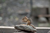 Chipmunk feeding on a rock