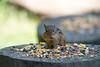 Chipmunk eating on log