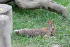 Rabbit stretched out on the ground