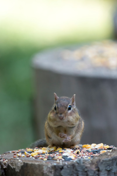 Chipmunk with mouth full eating on log