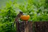 Chopmunk feeding on a orange