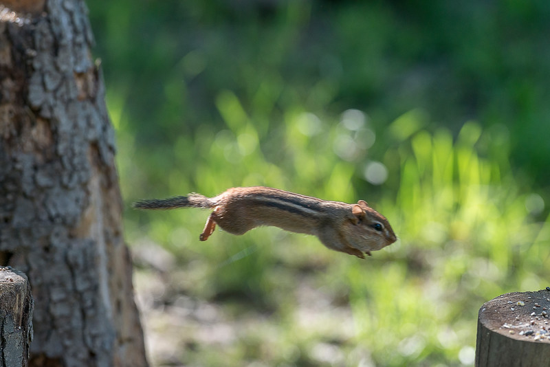Chipmunk jumping to other log