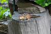 Chipmunk with his mouth full