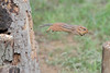 Chipmunk jumping tacross to other log