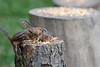 Chipmunk on logs