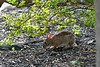 Rabbit eating under a bush
