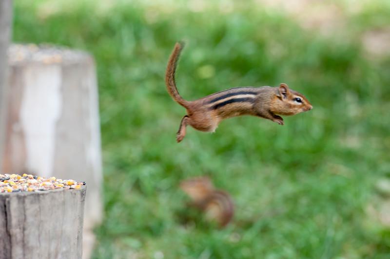 Chipmunk jumping