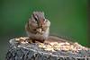 Chipmunk on logs