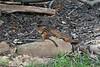 Two chipmunks on rock