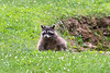 Raccoon clinbing out of a hole