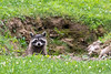 Raccoon peering over edge of ditch