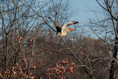Flying between limbs heading for the prey