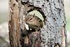 Chipmunk in hole in log