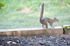 Squirrel with tail in air