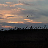 Silhouette  Sandhills Crane birds in hill