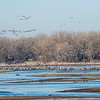 Flocks of Sandhill Cranes leaving the river