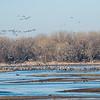 Flocks of Sandhill Cranes leaving the river