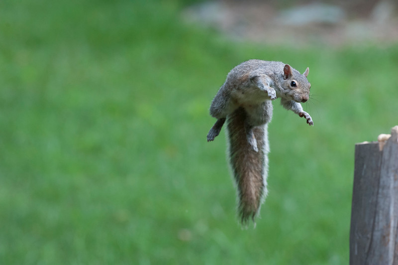 This squirrel can fly